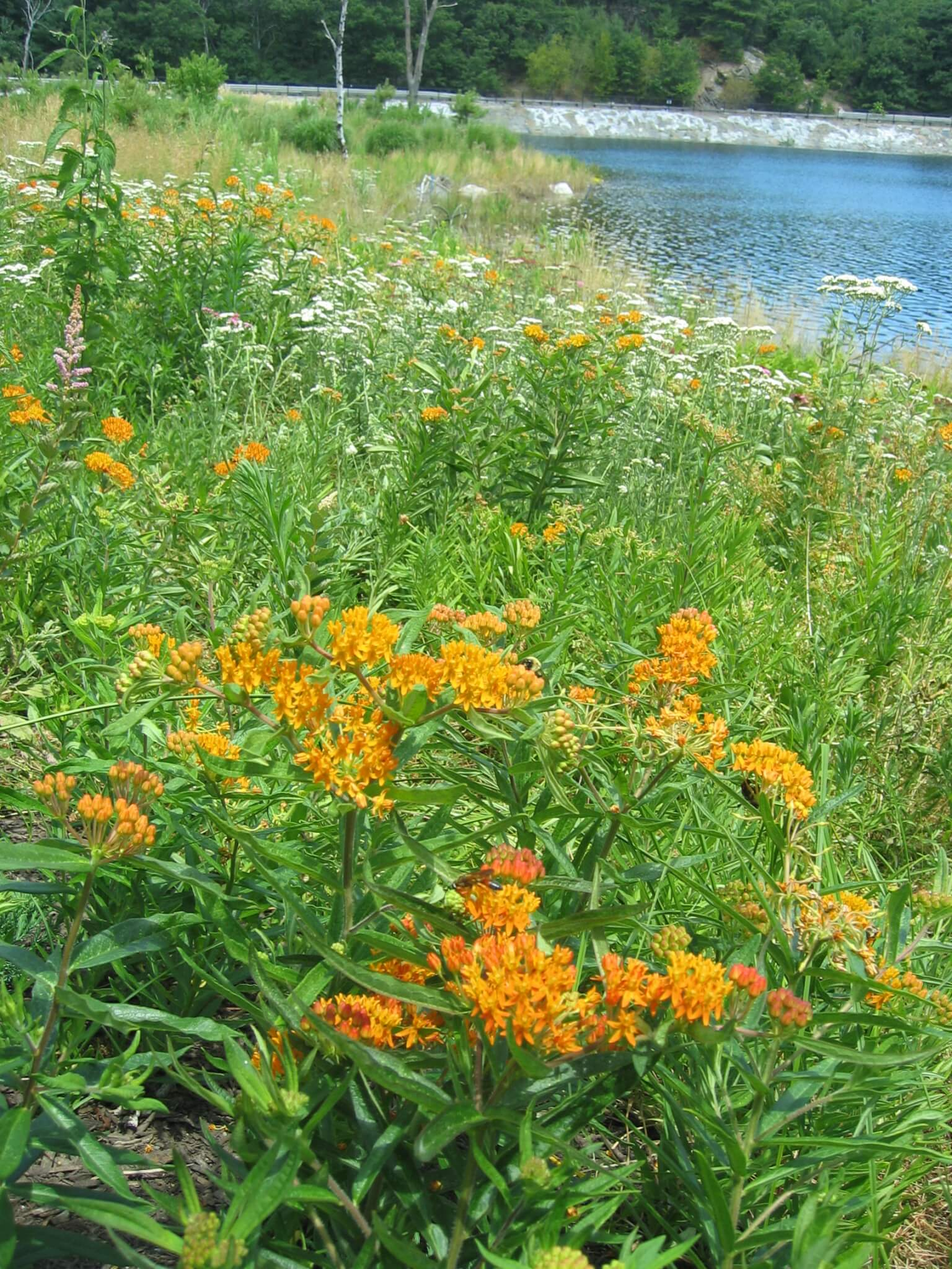 Constructed pond edge naturalizes former hard-armored reservoir edge, restoring native plant communities with species such as Butterflyweed.