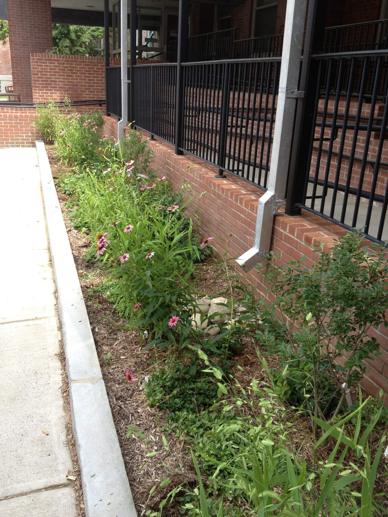 Former impervious surface transformed to infiltrating rain garden.