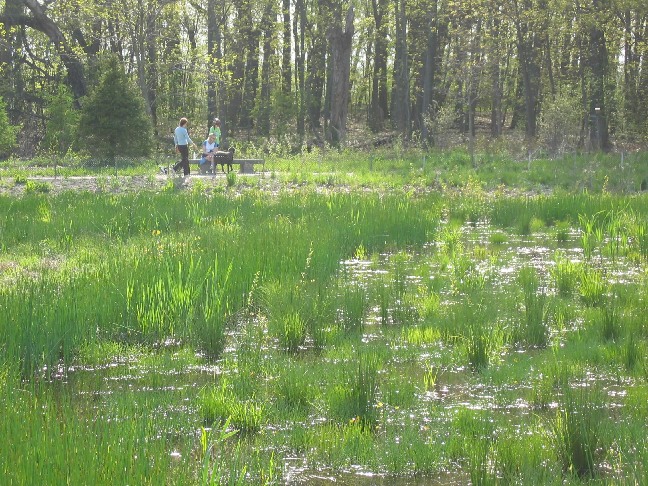 Constructed 4-acre wet meadow filters pollution from stormwater runoff before flow enters Fresh Pond Reservoir, restores wetland habitat, and provides recreational opportunities via encircling path with simple sitting areas.
