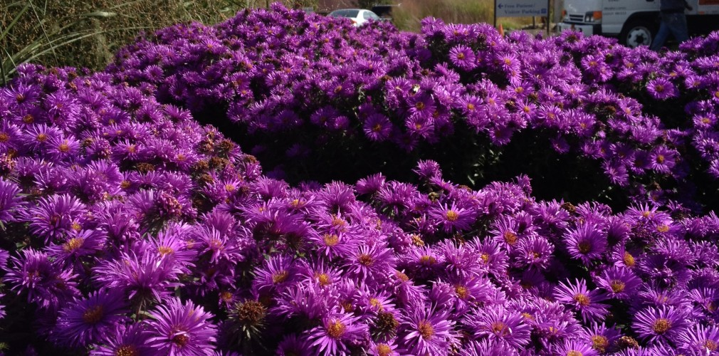 At Kent Hospital, Native Purple Asters And Switchgrass Provide Colorful, Lush Cover To Even The Toughest Locations, Like This Parking Lot Island.