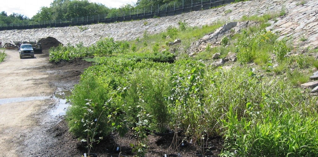 Diverse Native Sapling, Shrub, And Groundcover Species Awaiting Planting Along Constructed Pond Edge At Former Blue Hills Reservoir.