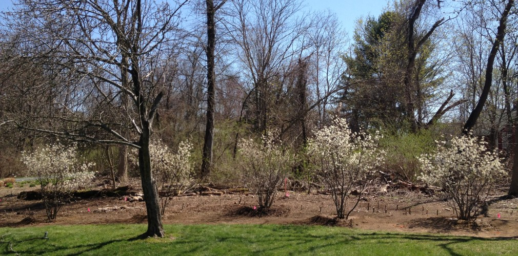Woodland Edge After Intensive Management Of Invasive Vines On Trees.  Clustered Plantings Of Native Species Like Serviceberry (blooming In White) Add Colorful Interest To Edge Through The Seasons And Restore Habitat Values (birds Love Serviceberries!).