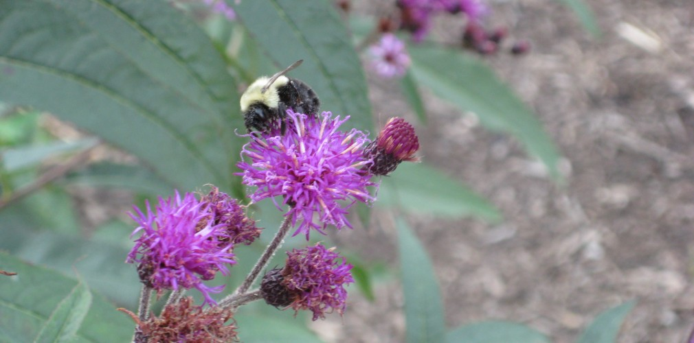Extensive And Diverse Native Planting Community Restoration At Blue Hills, With Species Such As Ironweed (shown Here), Improves Habitat Opportunities For Pollinators And Other Wildlife.