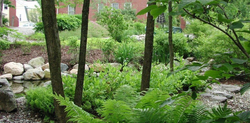 Design For This Urban Oasis Site Focused Around Two Created Ponds Connected With Stream.  Extensive Clearance Of Invasive Trees Exposed Valuable Native Trees Like Ash (shown Here), Around Which Native Groundcover Was Planted.